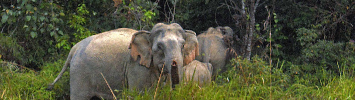 Elephants spotted in Belum Temenggor
