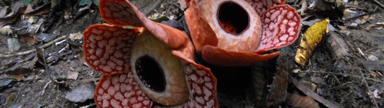 A rare twin Rafflesia