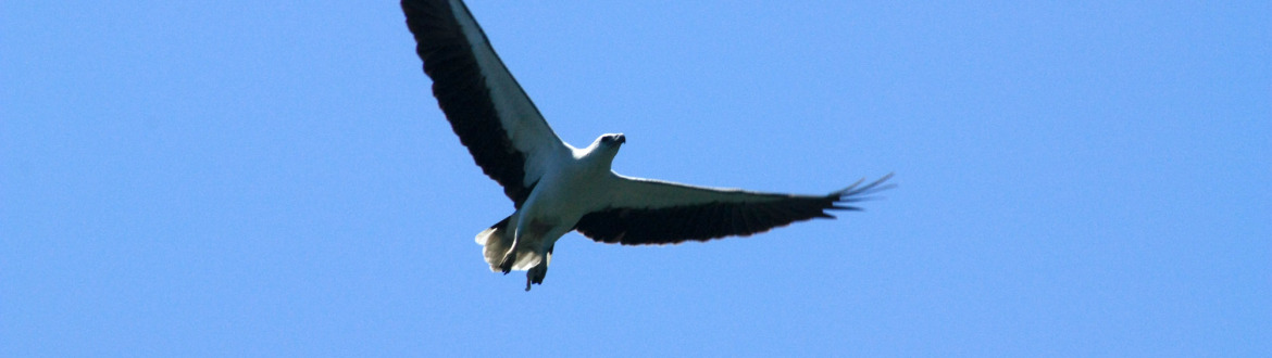Sea white belly eagle
