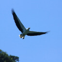 Sea white belly eagle