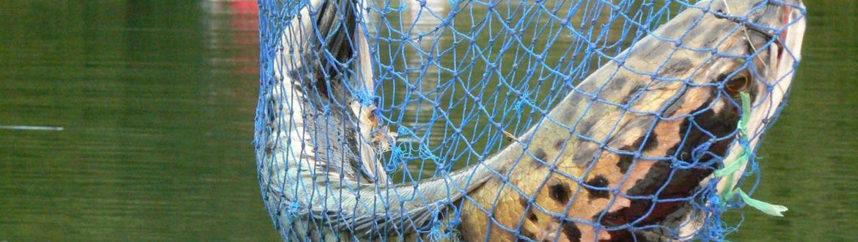 Toman fish catch